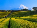 Fuji Tea Fields