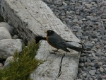 Robin on Railroad Ties