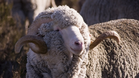 merino sheep - merino, ram, sheep, wool