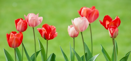 Spring Tulips - red, tulips, Spring, green, flowers, pink