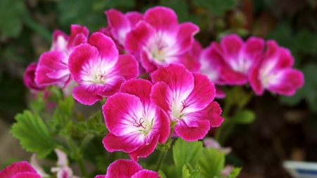 Geranium - 4K, Red, 3840x2160, Flower, Geranium, Flowers, Pelargonium, Zeraniumu, Pink, Carmine, Ruby Red