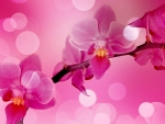 Pink Orchid Bokeh