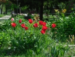 Red Tulips in a Park