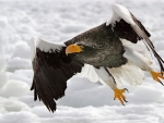 Flying Eagle in Snowy Weather