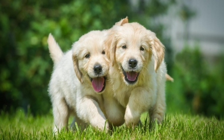 Puppies - dogs, nature, animals, puppies