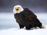 Big Eagle in Snowy Weather
