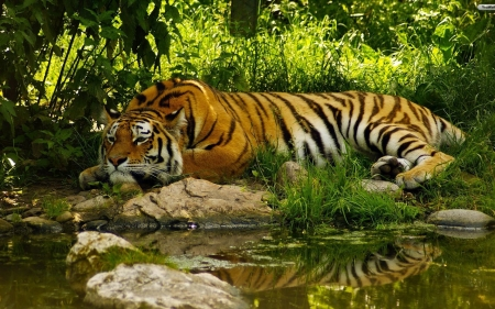 Tiger - water, big wild cat, tiger, animal, trees