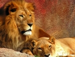 Beautiful Lion Couple