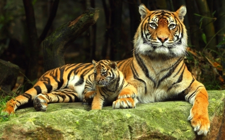 Tigers - nature, animals, rock, tigers