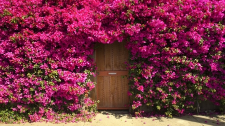 Bougainvillea Surrounding Door - Doors, Bougainvillea, Flowers, Nature