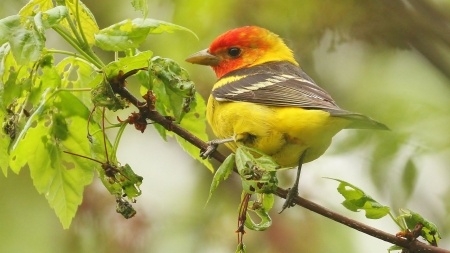 Colorful Western Tanager - Animals, Winged Creatures, Birds, Nature, Tanagers