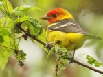 Colorful Western Tanager