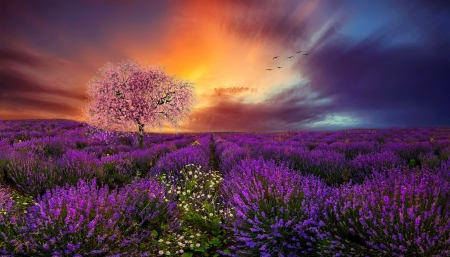 Mixing of the sences - field, sunset, mix, tree, sence, summer, colorful, lovely, beautiful, flowers, pretty, lavender, sky, spring