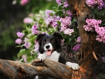 Border Collie dog performs the trick in a lavender garden