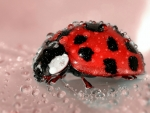 Lady Bug with Water Droplets