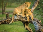 Lion Cubs in a Tree