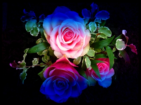 Rainbow Rose Flowers Amp Nature Background Wallpapers On