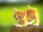 Cute Red Kitty