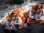 tigers chilling