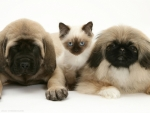 pekingese puppies and friend