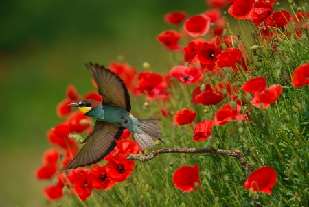 A bird in poppy field - beautiful, bird, field, flight, photo, glowers, poppies, wings, summer, grass