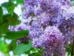 Bee on Lilac
