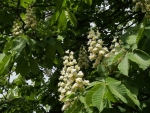 Chestnut-Tree Blooms