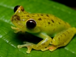 SPOTTY YELLOW FROG