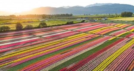 Tulip Field - Tulips, Fields, Colours, Spring