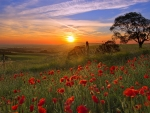 Papaver Field at Sunset