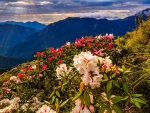 Beautiful mountain wildflowers