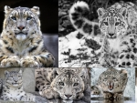 Snow Leopard Collage