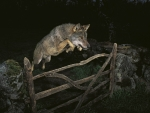 Wolves Jump at Night