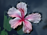 Hibiscus Flower on Water F