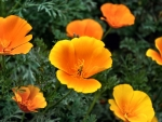 California Poppies FC