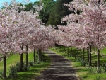 Alley of Cherry Trees
