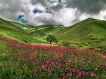 Clouds over Mountain Meadow of Pink Flowers
