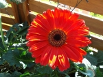 MY PRETTY GERBERA