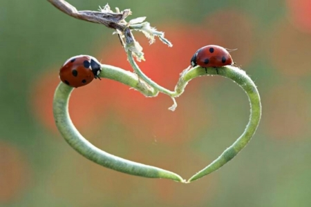 Lady Bugs - Red, Shape, Heart, Lady, Black, Bug