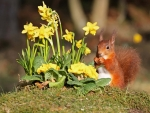 Yellow Daffodils & Red Squirrel