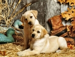Hunting Dogs - Puppies