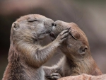 Chipmunk Kiss