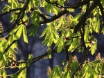 Horse-Chestnut in Spring