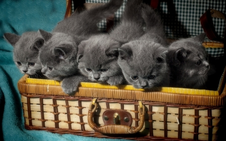 Gray kittens in Suitcase - kittens, animal, gray, cats, suitcase