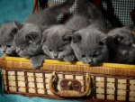 Gray kittens in Suitcase