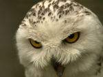 angry white owl