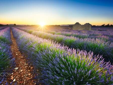 Sea of Lavenders - field, sunset, summer, lavender, nature