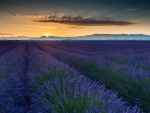 Land of lavender