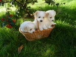 Adorable Puppies in a Basket