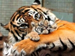 Tiger Mother Love